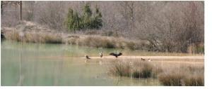 Cormoranes, garzas, azulones, fochas, porrón común europeo…ECHASA